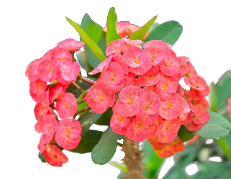 红色铁海棠花 免版税库存照片
