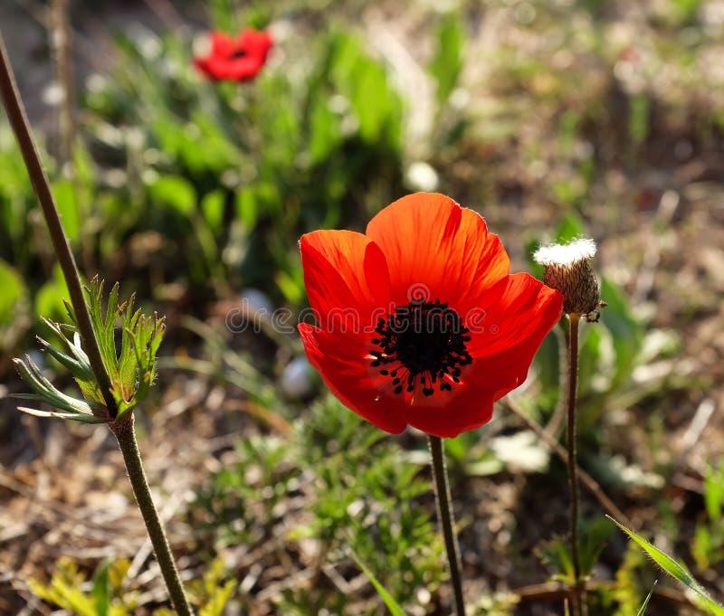 红色银莲花属在沙漠 库存图片