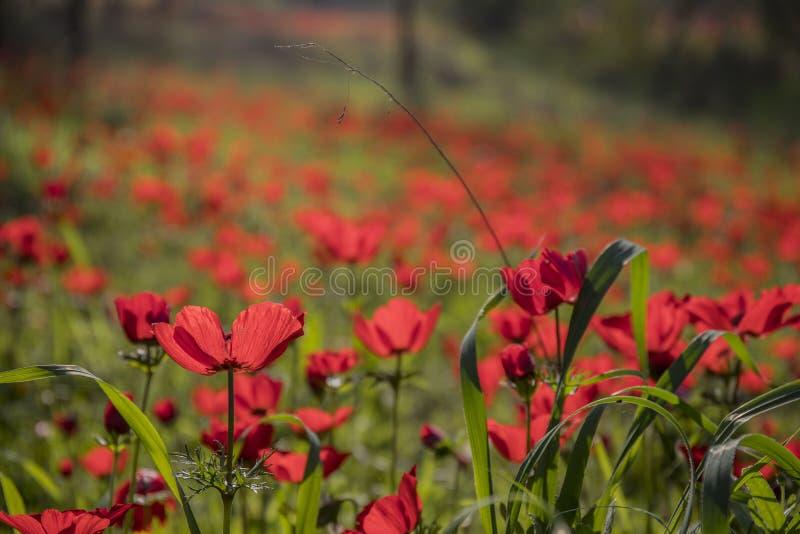 红色银莲花属的领域 库存照片