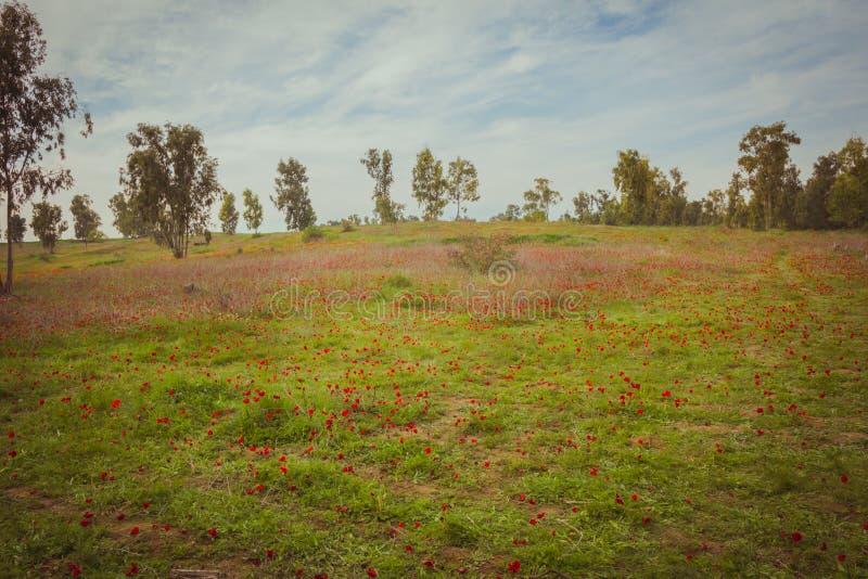 红色银莲花属的领域 免版税库存照片