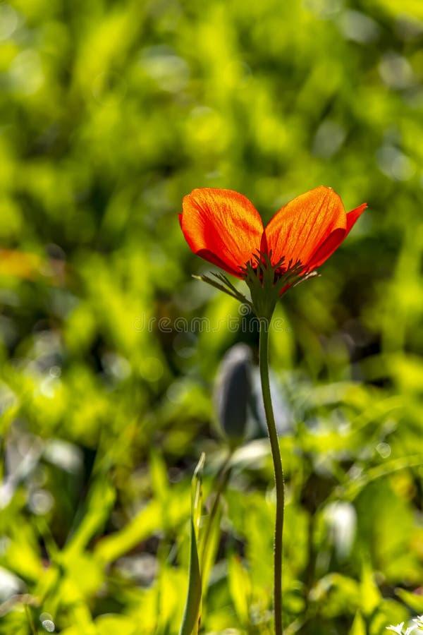红色银莲花属花关闭在背后照明的草在被弄脏的绿色背景 库存图片