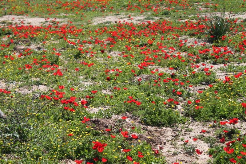 红色银莲花属花的领域 免版税图库摄影