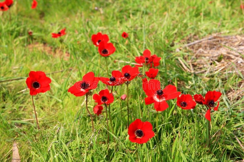 红色银莲花属,以色列 库存图片