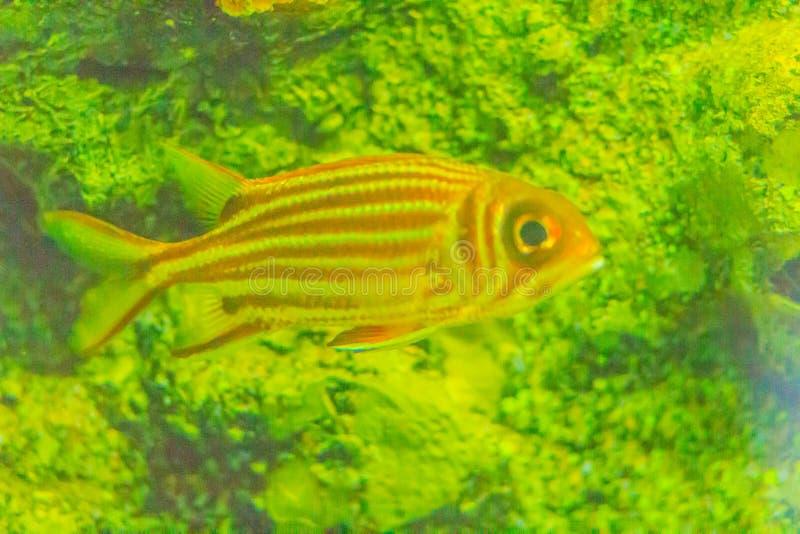 红色镶边灰鼠鱼(Sargocentron rubrum)亦称关于 免版税库存照片