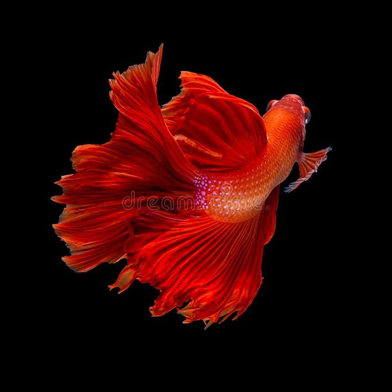 红色长尾巴半月Betta或暹罗战斗的鱼游泳我 图库摄影