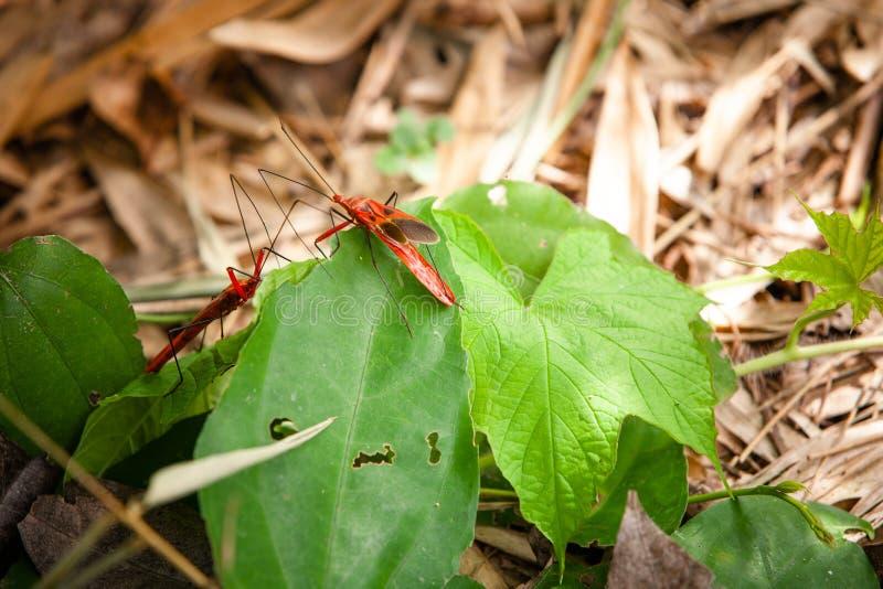 红色长的有驱体的臭虫 库存图片