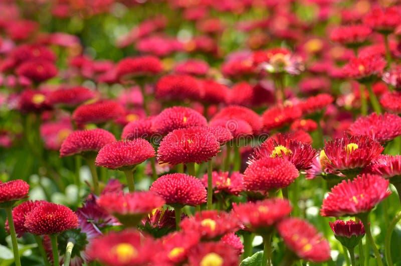 红色雏菊花圃 免版税库存照片