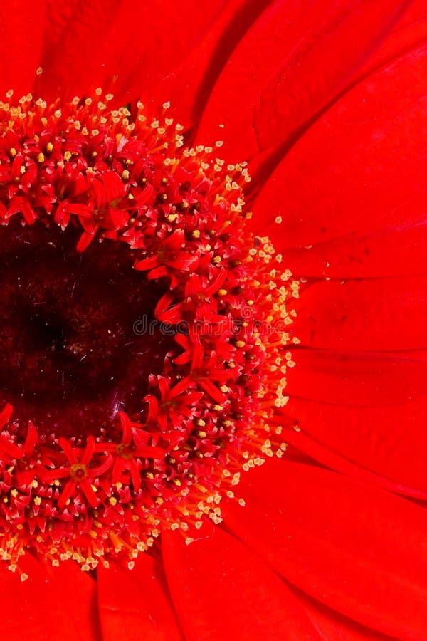 红色雏菊花特写镜头 库存照片