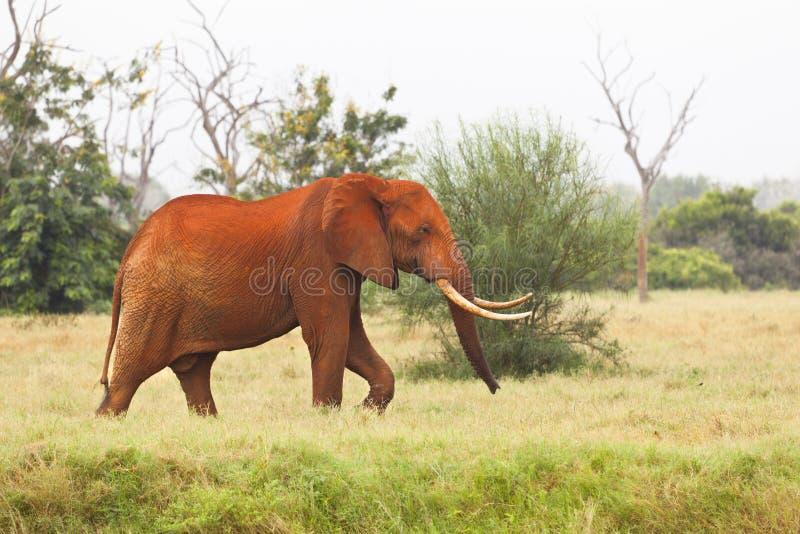 红色非洲大象在肯尼亚 免版税库存图片