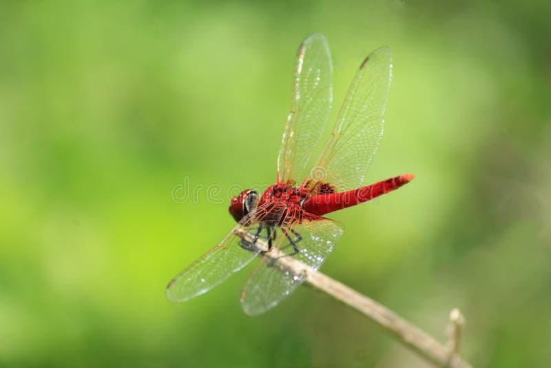 红色飞行栖息的保险柜 库存照片