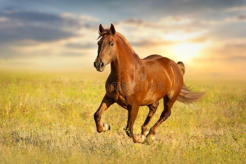 红色马运行 库存照片