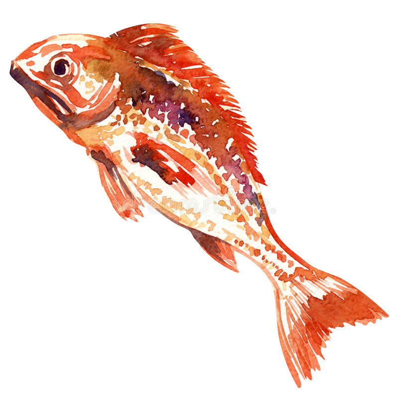 红色鱼。水彩绘画 皇族释放例证