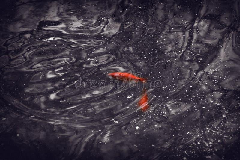 红色鱼在一个小公园湖 库存图片