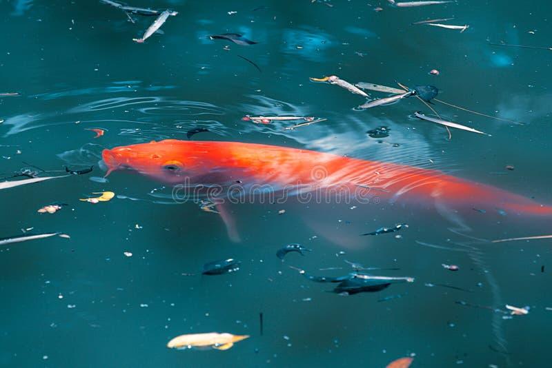 红色鲤鱼koi鱼 库存图片