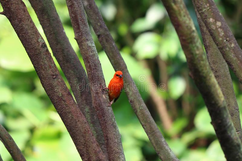 红色鸟坐分支在动物园里在莱比锡在德国 免版税库存图片