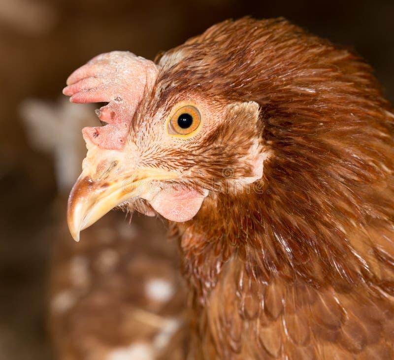 红色鸡头特写镜头 免版税库存照片
