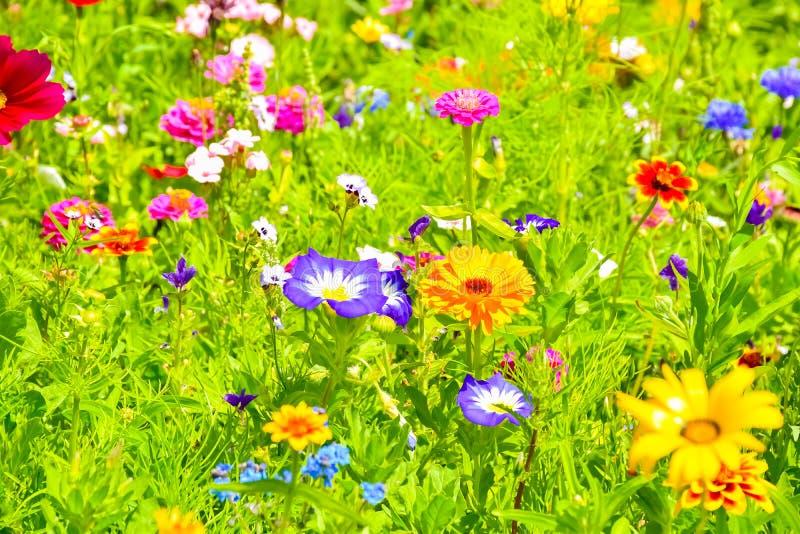 红色鸦片、蓝色矢车菊和五颜六色的夏天野花在欧洲 免版税图库摄影