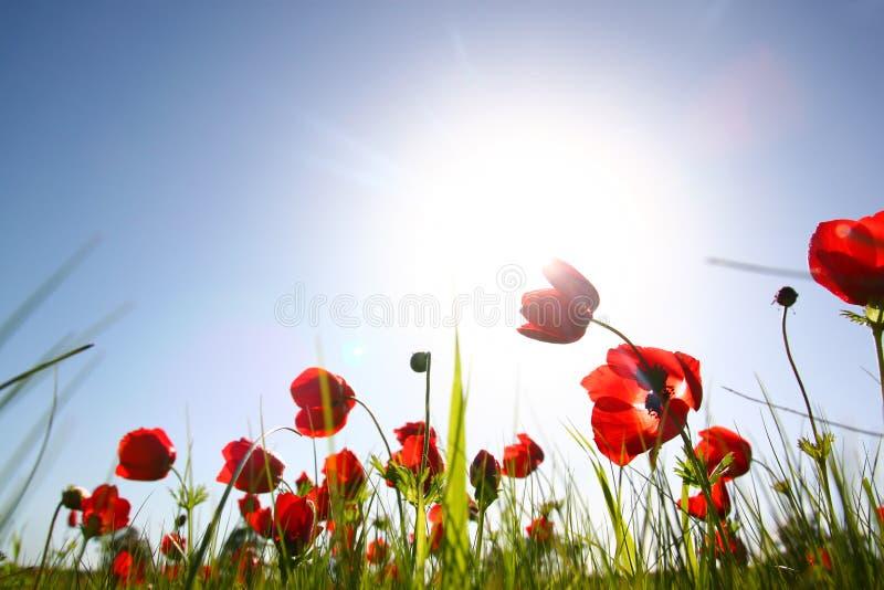 红色鸦片低角度照片反对天空的与光破裂了并且闪烁闪耀的光 库存照片