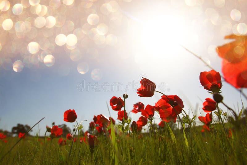 红色鸦片低角度照片反对天空的与光破裂了并且闪烁闪耀的光 免版税图库摄影