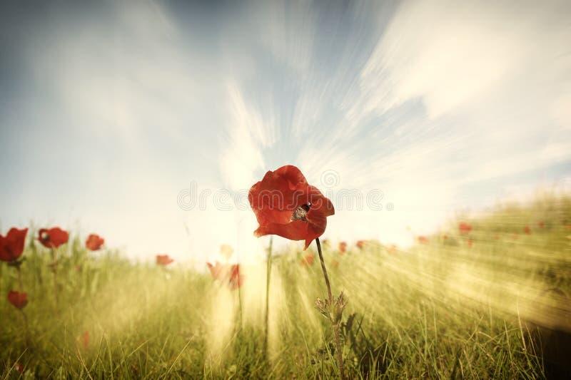 红色鸦片低角度照片反对天空的与光破裂了并且闪烁闪耀的光 库存图片