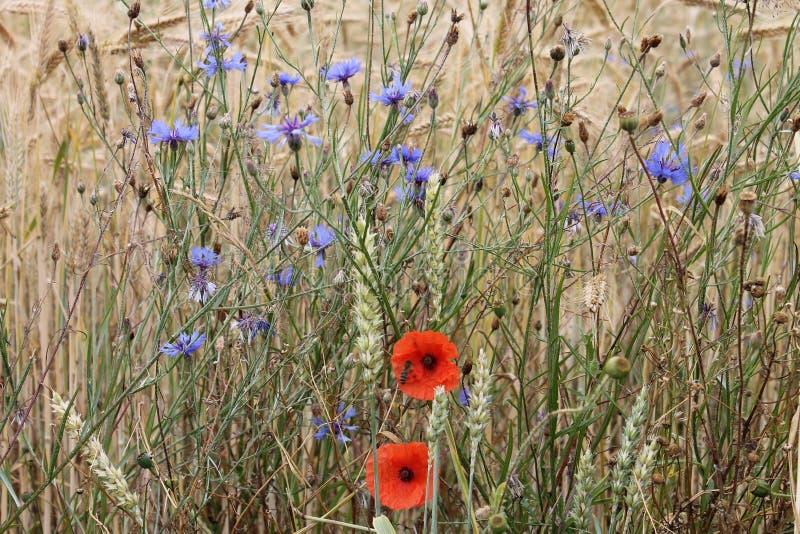 红色鸦片和蓝色花在麦田 免版税库存照片