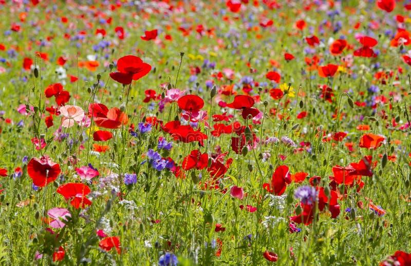 红色鸦片和野花 免版税库存图片