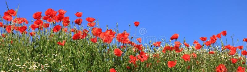 红色鸦片和延命菊盛开,全景大小 库存图片