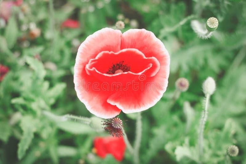 红色鸦片在庭院里 免版税图库摄影