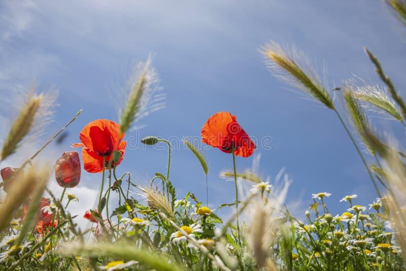 红色鸦片在有天空蔚蓝的玉米田 免版税库存照片