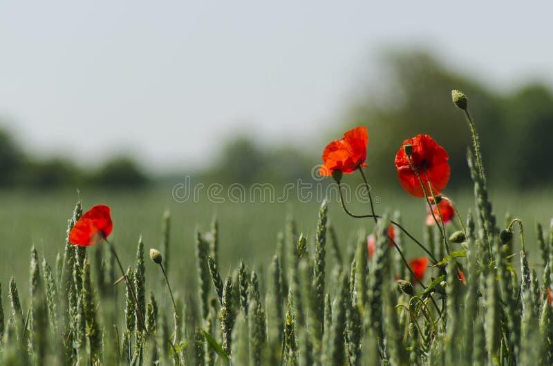 红色鸦片在玉米田 免版税库存照片