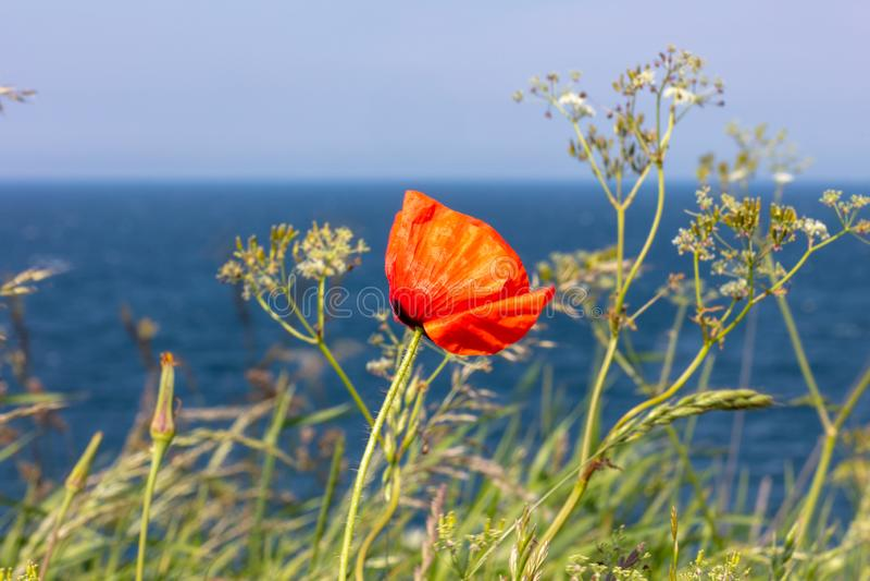 红色鸦片在陡峭的海岸站立在海旁边 库存照片
