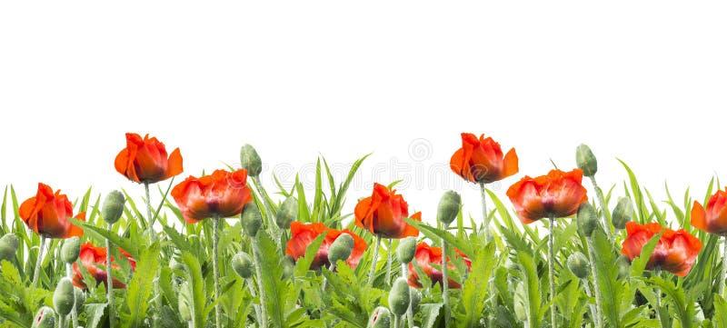 红色鸦片开花,花卉边界,隔绝在白色 免版税图库摄影