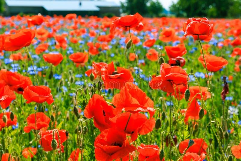 红色鸦片植物在有植物的玉米田蓝色开花的 库存照片