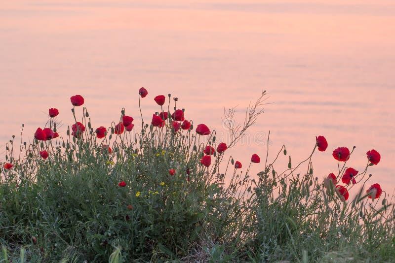 红色鸦片的美好的领域在日出的在海附近 图库摄影