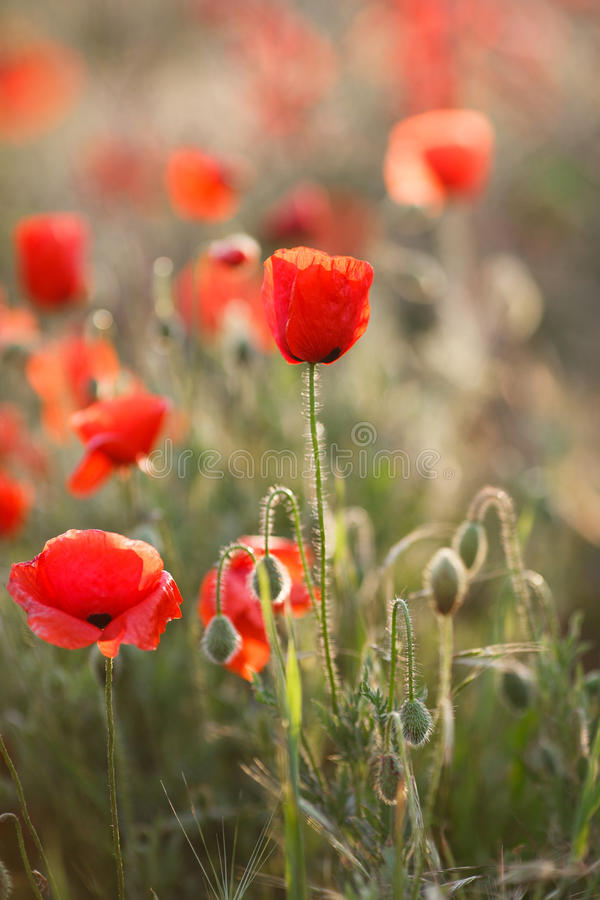 红色鸦片的野花 库存照片