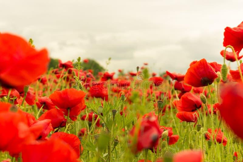 红色鸦片的领域在多云天风景的 免版税库存照片