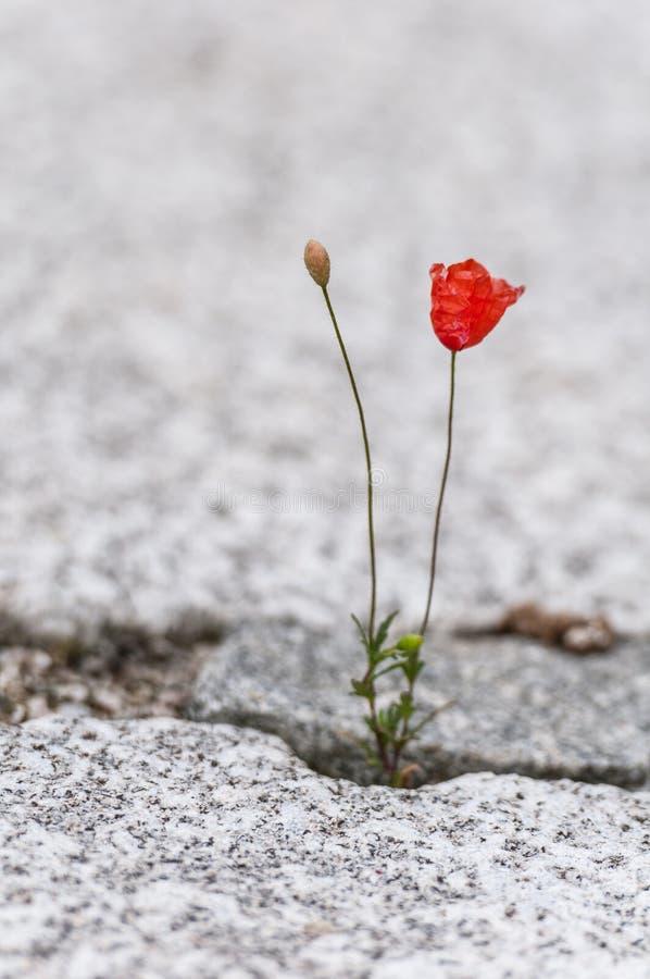 红色鸦片花卉生长在鹅卵石膏药外面 免版税图库摄影