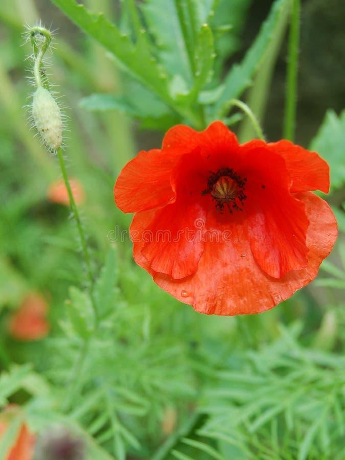 红色鸦片花和芽 免版税库存照片