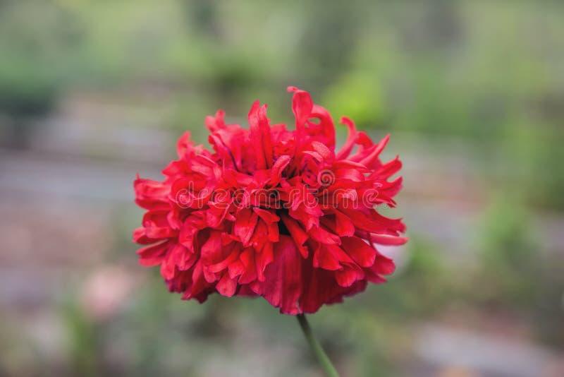 红色鸦片花在庭院里 免版税库存图片