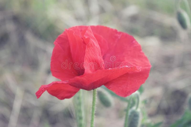 红色鸦片花在自然领域夏天 免版税库存图片