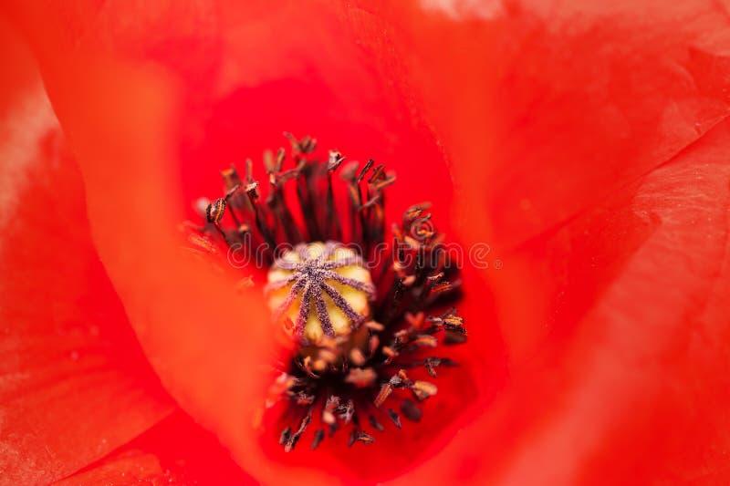 红色鸦片花的宏观图象 E 库存照片