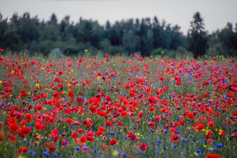 红色鸦片领域和森林 库存照片