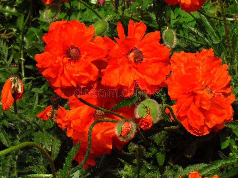 红色鸦片,植物学名字罂粟属rhoeas,其他名字共同的鸦片,特写镜头 库存照片