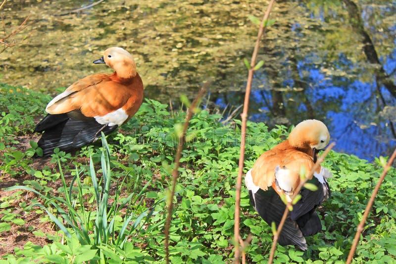 红色鸭子用绿色水清洗在池塘的岸的羽毛 免版税库存图片