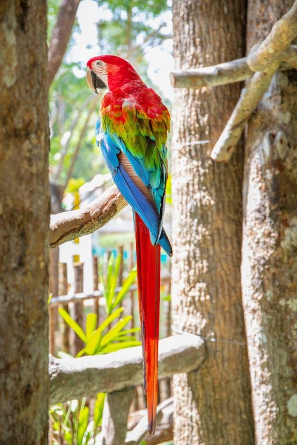 红色鹦鹉猩红色金刚鹦鹉,Ara澳门,鸟坐棕榈树树干 免版税库存照片