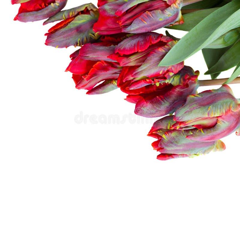 红色鹦鹉郁金香关闭  免版税库存图片