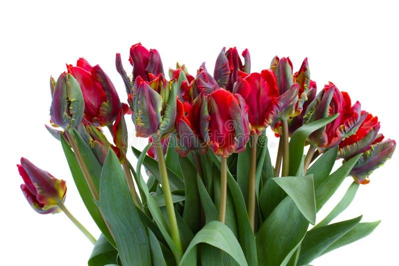 红色鹦鹉郁金香花束  免版税图库摄影