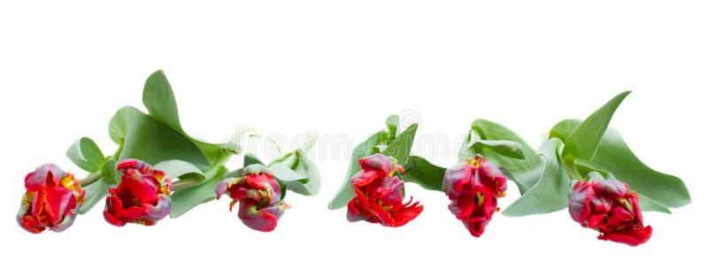 红色鹦鹉郁金香边界 免版税库存图片
