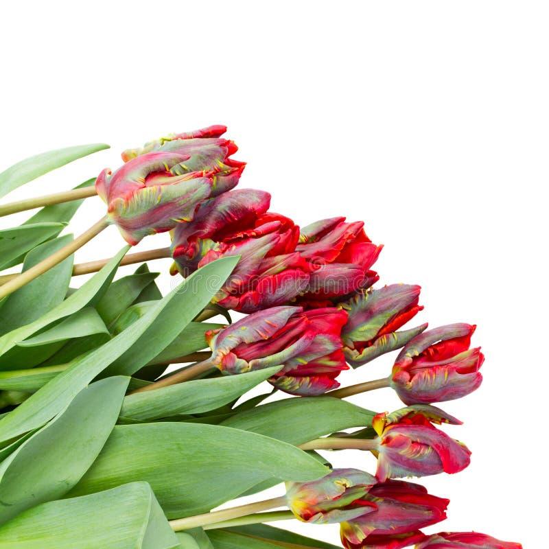 红色鹦鹉郁金香 库存照片