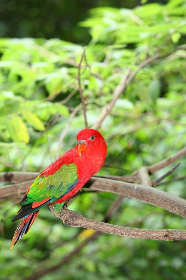 红色鹦鹉鹦鹉纵向  库存图片